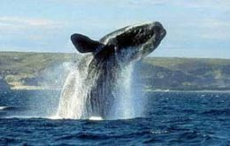 "<A HREF=""http://www.chubut.gov.ar/ballenas/en/index.php?secc=/"">Vigil of the Whales alive</A>"