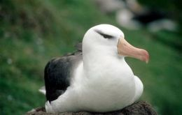 Around 60% of the world's Black-browed Albatrosses breed in the Falkland Islands