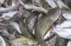 About 10 percent of catfish eaten in the United States comes from China