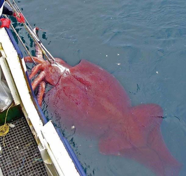 Scientists surprised by giant squid found on Tasmania
