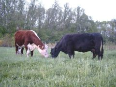 Hereford and Aberdeen Angus the most extended breeds