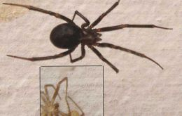 """False black widow"" arrive to the South"