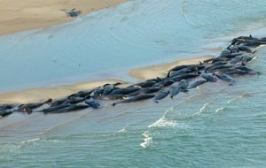 Whales died in a mass stranding off the NW tip of Tasmania.<br>(Parks and Wildlife)