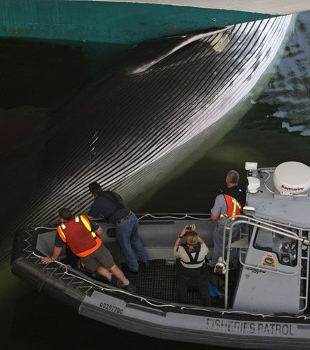 Fin Whale Wedged To The Bow Of Cruise Ship In Canada MercoPress - Whale cruise ship
