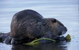 The nutria is much appreciated in South America for its fur and meagre meat.