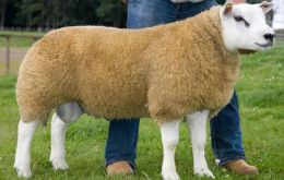 The eight month old lamb outstands for its strong physical attributes
