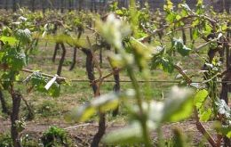 Wine production in Mendoza is down 30%