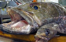 Antarctic toothfish stocks and biology remain largely unknown to scientists.