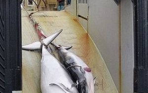 Environmentalists are in the lookout for the Japanese whaling fleet