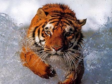 """Year of the Tiger"""" could signal the end of the majestic cats"""