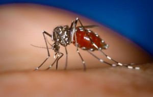 "The Aedes Aegypti mosquito transmits the tropical disease also known as the ""bone-crusher"" because of its symptoms"