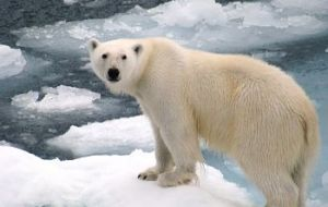 This majestic bear of the North Pole has great chances of ending as a rug or fur