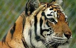 It is estimated that only 3.200 tigers remain in the wild