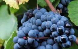 The hardy Tannat grape originally from south-east France was first introduced in Uruguay by the Basque Frenchman Pascual Harriague