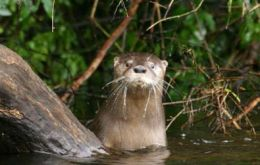 The huillín or Chilean Patagonia otter (Photo by JL Barthled)
