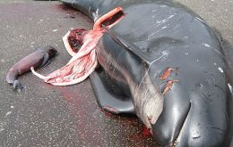 A disembowelled pilot whale next to her calf