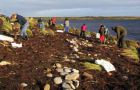 Falklands Conservation staff and volunteers plant tussac