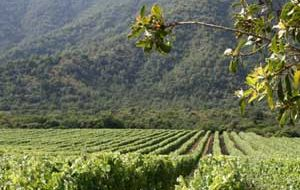 Wine production is a crucial part of the Casablanca Valley economy