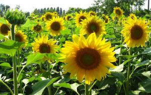 Once the main oil seed in Argentina, sunflower is again attractive