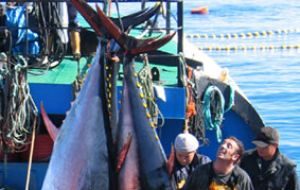 Bluefin numbers have been declining worldwide