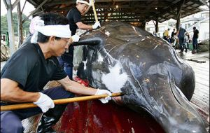Japan alleges that whale hunting is for scientific purposes