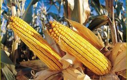 The forecast for corn is now 20 million tons compared to 25 million in early December