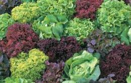 Grapes, lettuce, cabbage, citrus among the most affected