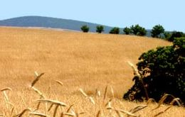 The area with wheat totals 23.1 million hectares