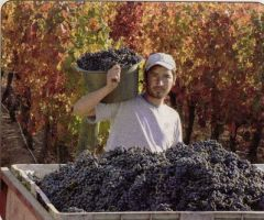 Who is going to harvest this year's grapes?
