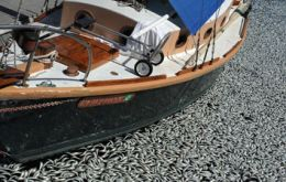 Yachts at Redondo Beach marina clogged with dead sardines