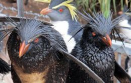 Oiled Northern Rockhopper penguins are being rescued and baited rodent traps placed along the shore
