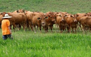 North Korea's cattle are crucial for milk production and working the land