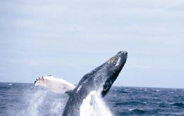 An estimated 4.000 humpback and minke whales are estimated to abandon Antarctic waters during June and July