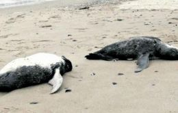 The dead penguins were washed up on the Atlantic coast