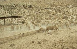 Thousands of sheep have been left without water or food