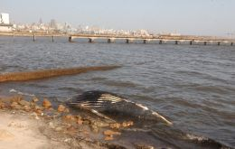 The eight metre cetacean remains were recovered by a municipal crew (Photo El Pais)
