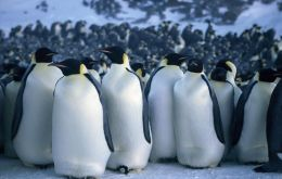 There are an estimated two dozen Emperor penguin colonies in Antarctica