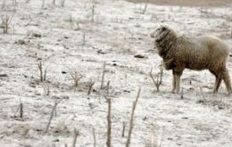 Sheep covered in ash aimlessly searching for food