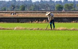 Asia is the world's leading region in rice production
