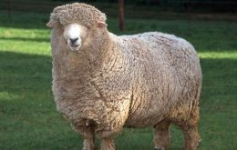 Corriedales are double purpose: wool and meat