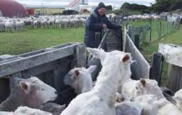Neil Watson drafting sheep at Long Island Farm on East Falkland