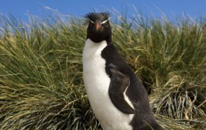 Rockhopper is the most loved penguin out of the five penguin species on the Islands