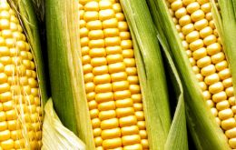 The 2011/2012 corn harvest is estimated to reach over 30 million tons