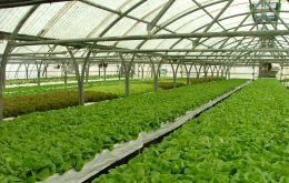The Islands has a long and successful experience in growing vegetables in poly tunnel