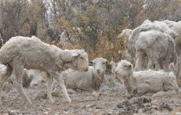 Unable to feed, with an extra weigh of ash mingled in the wool, sheep are condemned