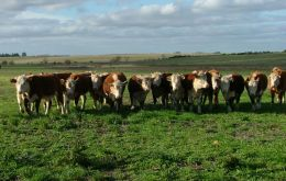 Short of sufficient steers for a couple of years ahead