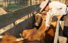 Vaccination of cattle against FMD in Paraguay