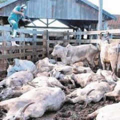 Paraguay suffered an outbreak of FMD in an only farm in September