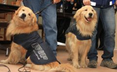 Golden retrievers and Labradors in the game of hunting for fleeing dollars