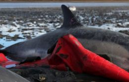 In two weeks of January almost the average annual stranding